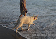 White German Shepherd and man wade in ocean