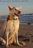 White German Shepherd at the beach