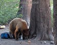 Black bear sniffs items left by fishers at Lake Mamie in Mammoth Lakes Basin