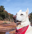 White German Shepherd in Red Rock Country