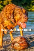 Dog on Kauai who fetches coconuts