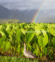 Nene at the Hanalei National Wildlife Refuge with double rainbow in background