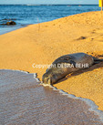 Hawaiian monk seal resting on Kauai