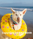 White German Shepherd at the beach