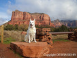 White German Shepherd with the Courthouse Butte in background