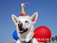 White German Shepherd with balloons and Happy Birthday adornment