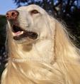 White German Shepherd wearing wig