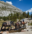 Horseback rider leads pack mules in Little Lakes Valley in Rock Creek Canyon