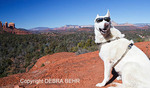 White German Shepherd at overlook on Little Bell, with Cathedral Rock in distance
