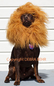 Little dog in lion Halloween costume