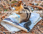 Chipmunk chews on words from newspaper in South Lake Tahoe