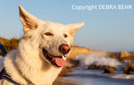 White German Shepherd at the dog-friendly area at Leo Carillo State Beach in Southern California
