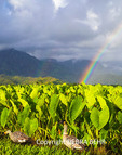Nene at the Hanalei National Wildlife Refuge, with double rainbows in distance