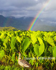 Nene by taro at the Hanalei National Wildlife Refuge, with rainbows in distance
