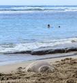 Hawaiian monk seal sleeps on sand while tourist floats in sea at Kee Beach