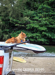 Dog named Milo on surfboard hanging off truck parked at Black Pot Beach Park in Hanalei, Kauai; dog rides board with owner Hawaiian sculptor Keoni Durant as he surfs