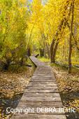 Autumn colors at walkway above creek along the loop trail circling Convict Lake