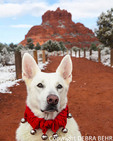 White German Shepherd wearing bell collar on the Bell Rock Path