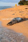 Hawaiian monk seal at Kauai beach