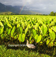 Nene by taro at the Hanalei National Wildlife Refuge on Kauai, with rainbow in distance