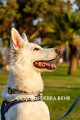 Alert White German Shepherd during training