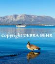Canada goose at Lake Tahoe