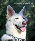 Young White German Shepherd rescued from animal shelter  enjoys a hike