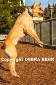 Leaping dog peers over fence