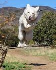 White German Shepherd jumps over branch