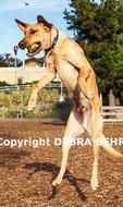 Yellow labrador catches ball mid-air