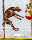 German shorthair pointer leaps for Frisbee