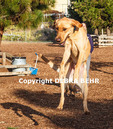 Yellow labrador jumps up at dog park