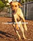Labrador Retriever playing at dog park