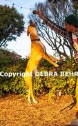 Australian cattle dog jumps for ball