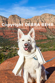 White German shepherd at overlook by the Bell Rock Climb trail wearing scarf