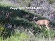 Three deer in Topanga State Park in the Santa Monica Mountains