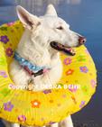 Dog wearing swim ring