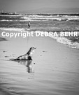 California sea lion on beach by Santa Monica Bay