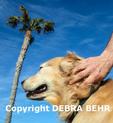 Owner massages Golden retriever
