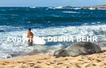 Hawaiian monk seal rests at Hookipa Beach while surf goes into sea