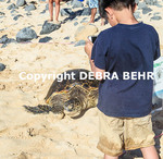 Boy takes photograph of Hawaiian green sea turtle at Hookipa Beach Park