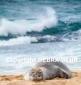 Hawaiian monk seal rests at Hookipa Beach