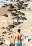 Man observes Hawaiian green sea turtles resting at Hookipa Beach