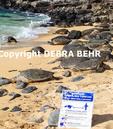 Hawaiian green sea turtles rest on beach at Hookipa Beach