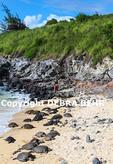 Hawaiian green sea turtles and surfer at Hookipa Beach