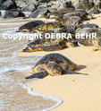 Hawaiian green sea turtles rest at Hookipa Beach on Maui