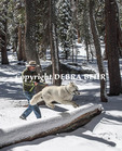 Dog jumps over fallen tree into fresh snow in Mammoth Lakes