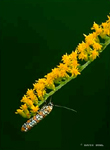 Ailanthus Webworm Moth on Canada Goldenrod