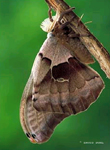 Promethea Moth