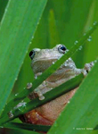 Common Gray Treefrog